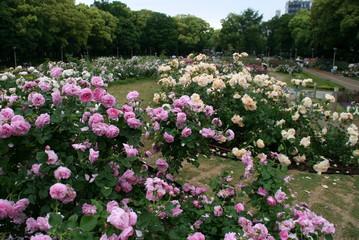 旬のうつぼ公園のバラ~♪
