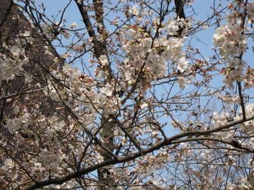 桜が咲いています~♪♪