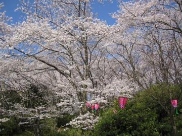 さくら、サクラ、桜~♪